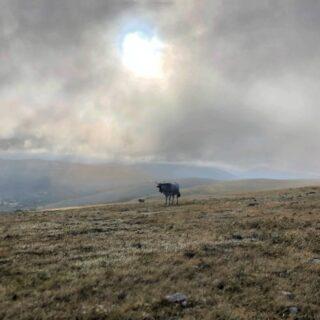 Vacche Sul Monte Calvo