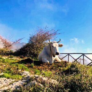 Ancora Vacche