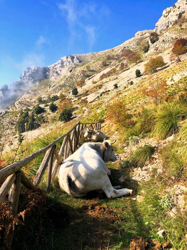 Vacche sul sentiero
