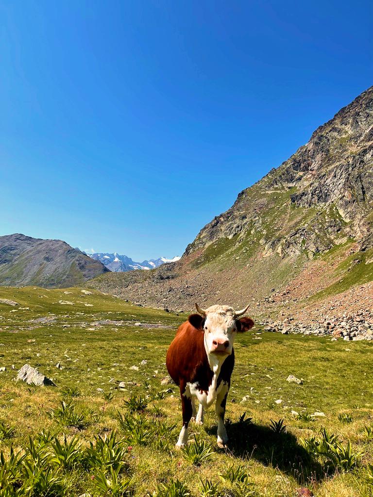 Vacca Valdostana
